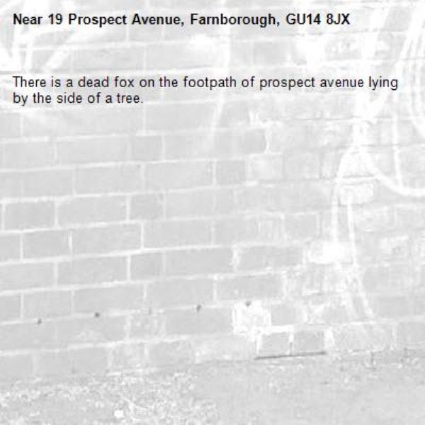 There is a dead fox on the footpath of prospect avenue lying by the side of a tree.-19 Prospect Avenue, Farnborough, GU14 8JX